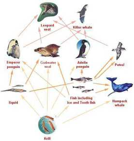 emperor penguin food chain - photo #7